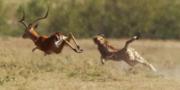 Antelope-