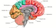 limbic-brain-1